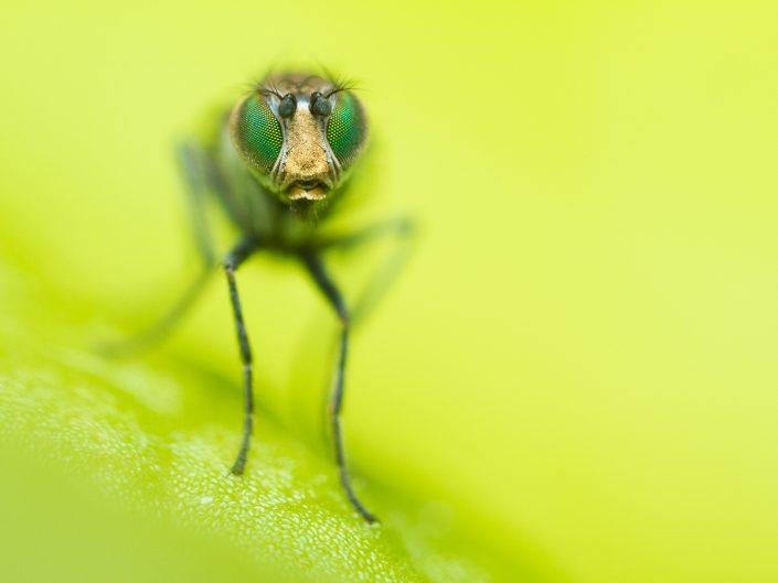 Flies & Mosquitoes
